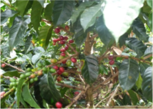 Coffee plants. Photo and copyright by Xiomara Fernanda Quiñones Ruiz.