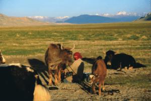 Kyrgyz female herding cattle. Photo and copyright: Asyl Undeland